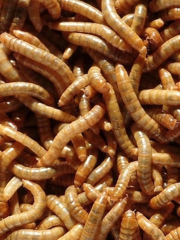 Meelwormen groot +/- 1 kg