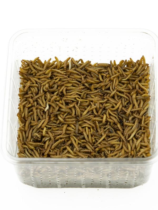 Buffalowormen +/- 100 gr
