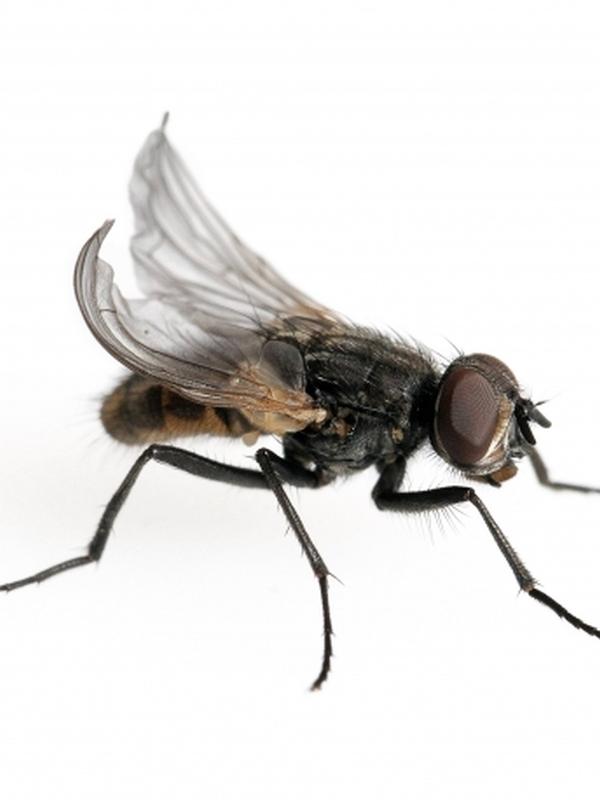 Krulvliegen 0-2 dagen oud