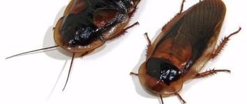 Dubia Kakkerlak