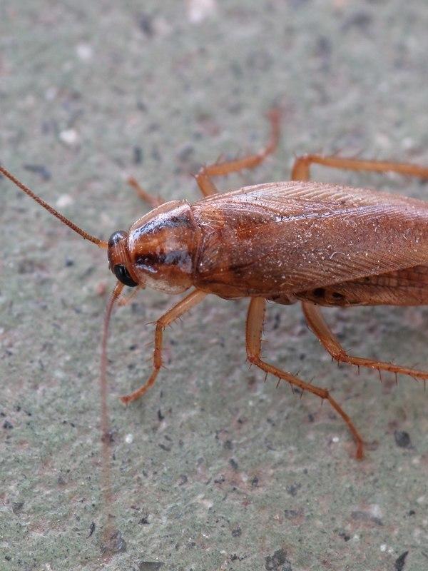 Redren Kakkerlak