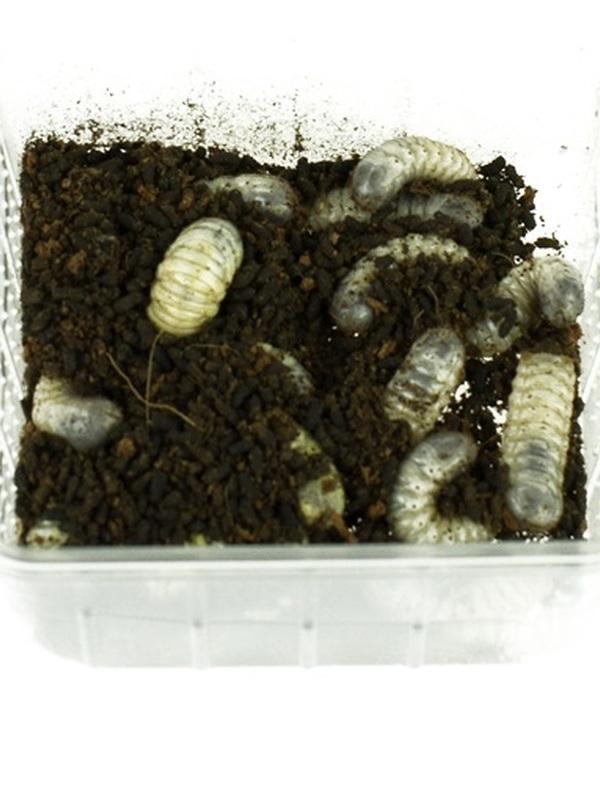 Dola larven (Roze keverlarven)