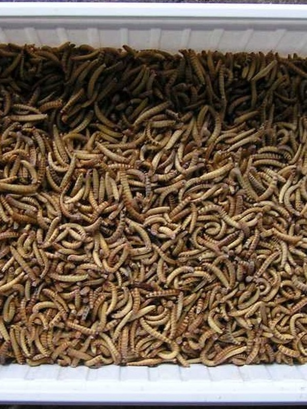Diepvries Buffalowormen 1 L